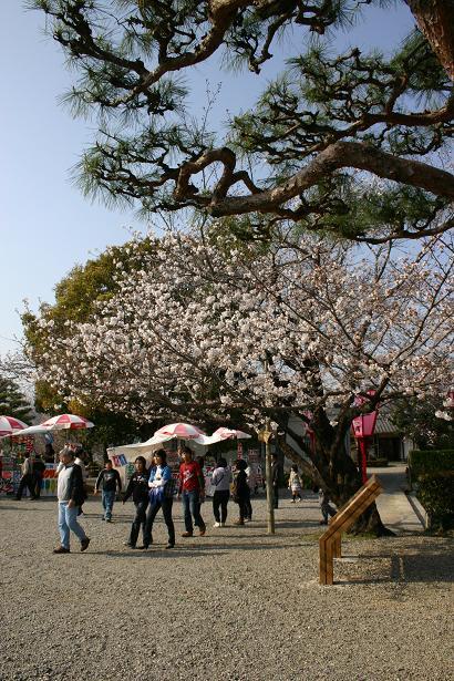 本丸の桜.jpg