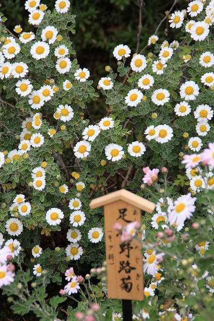 野路菊.jpg